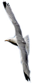 Yorkshire Coast - Staithes seagull